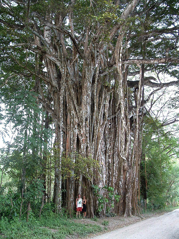 A giant higueron tree.